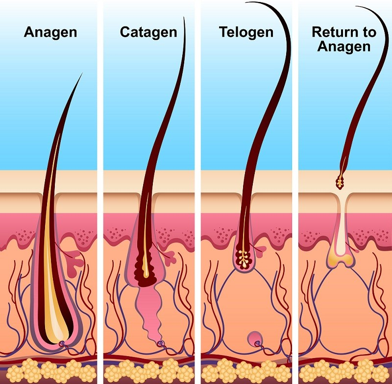 Four stages of the hair growth cycle